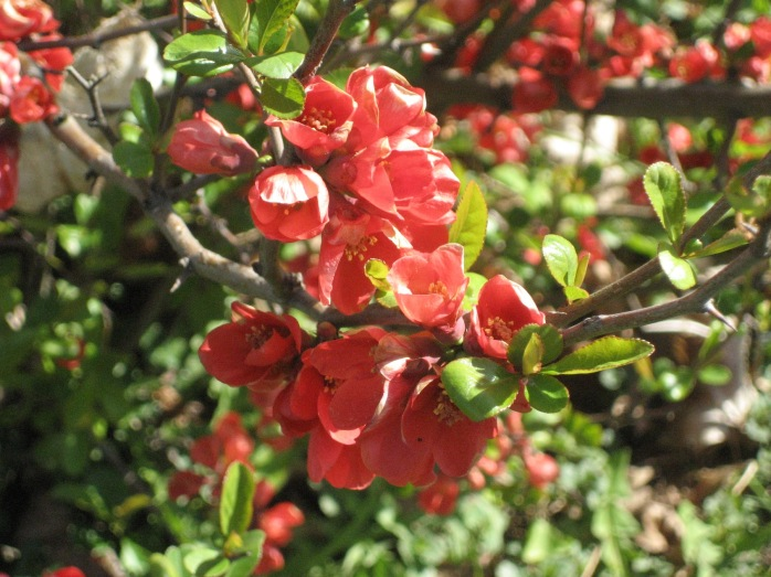 japenese quince